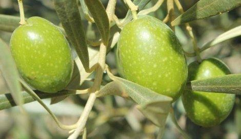 Aceituna Verde de Mesa